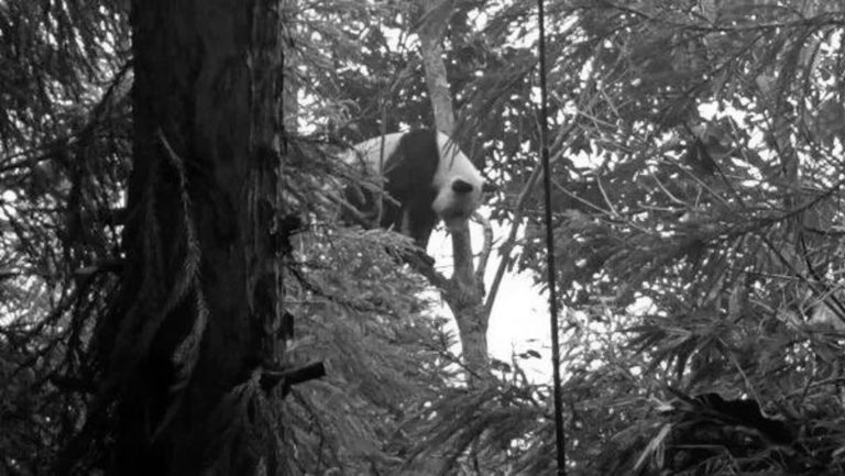 Panda Hides Up Tree After Villager Drives Dogs Away