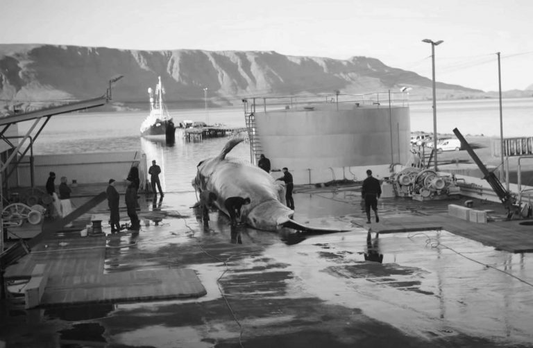 Iceland Whaling Report Raises Concerns