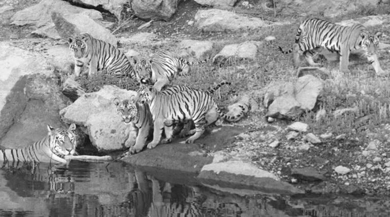 Attenborough Tigress Filmed Carrying 30th Cub Over Road