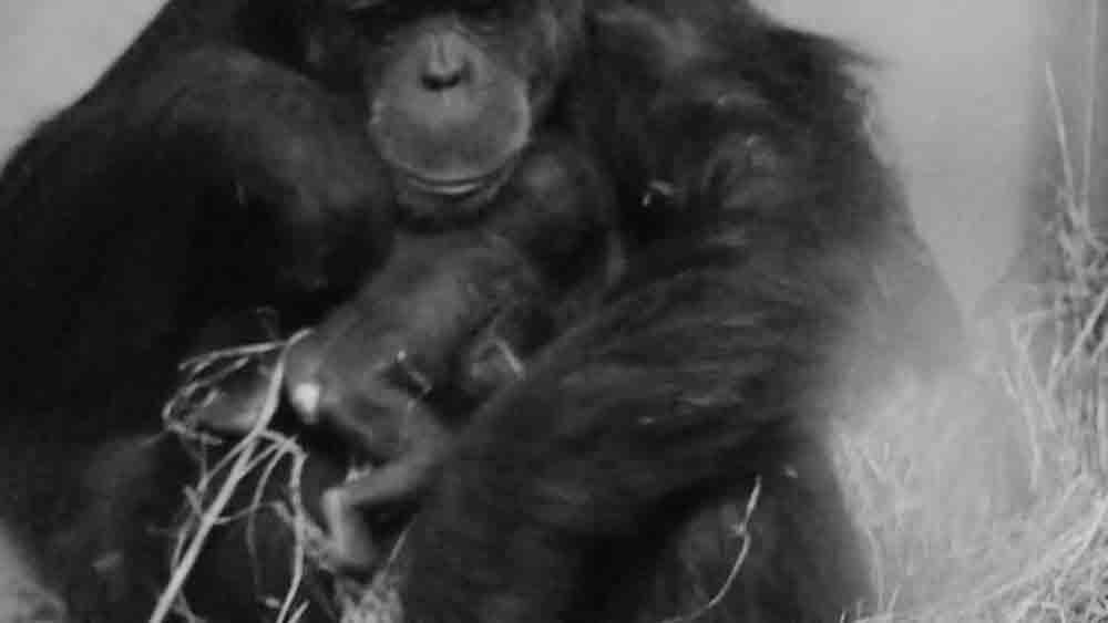 Twin Endangered Chimps Born In Spanish Zoo - Ananova
