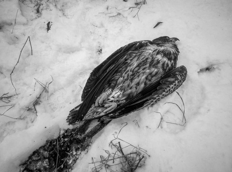 Eagle Found Half Frozen To Death Brought Back From Brink