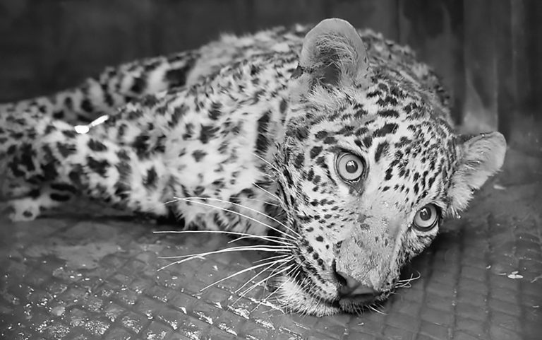 Vet Saves Leopard From Deadly Jaws Of Poachers Trap