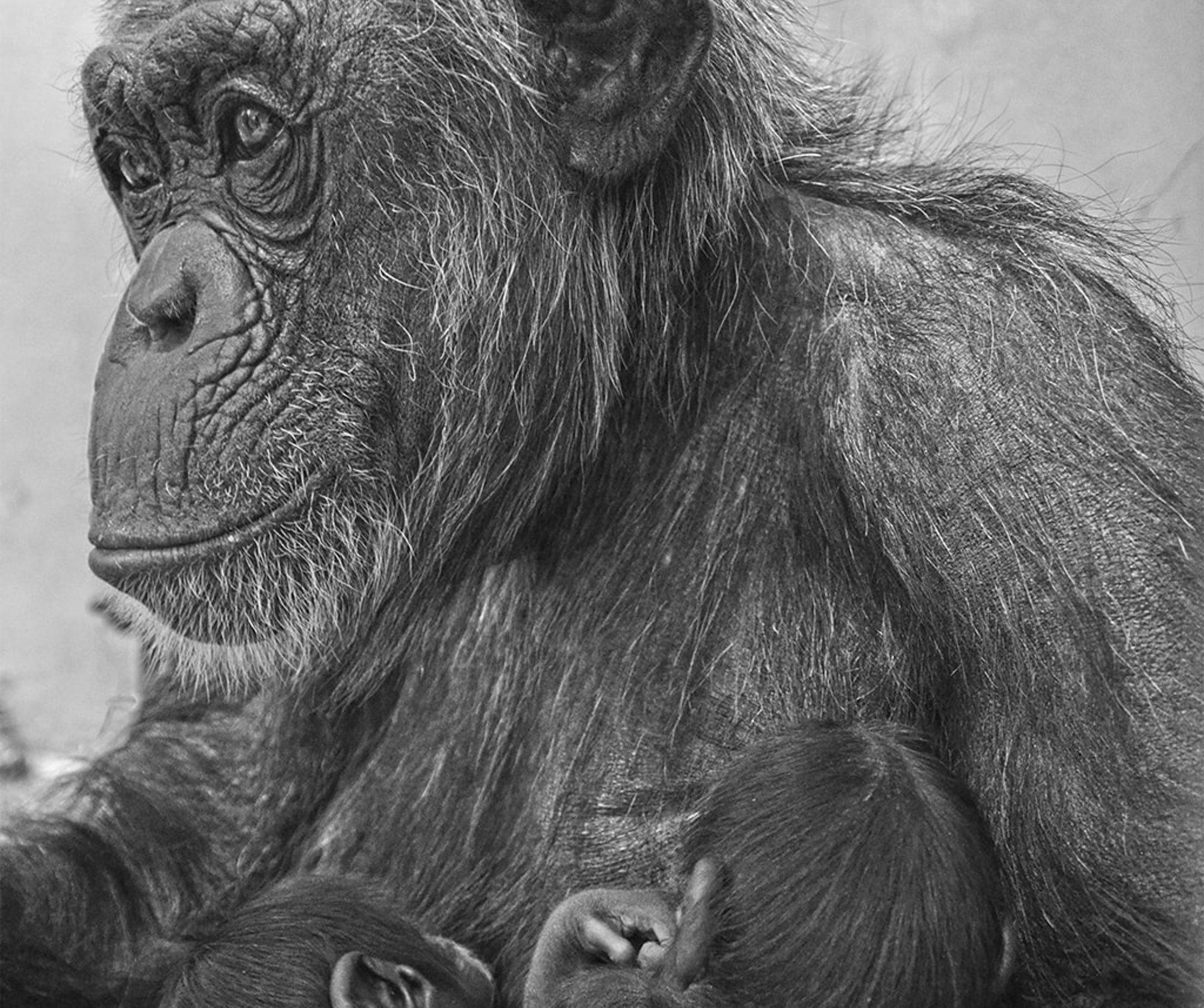 Critically Endangered Chimp Twins Die Month After Birth