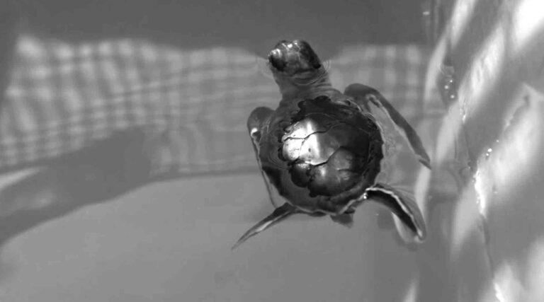 Cute Endangered Baby Sea Turtles Rescued
