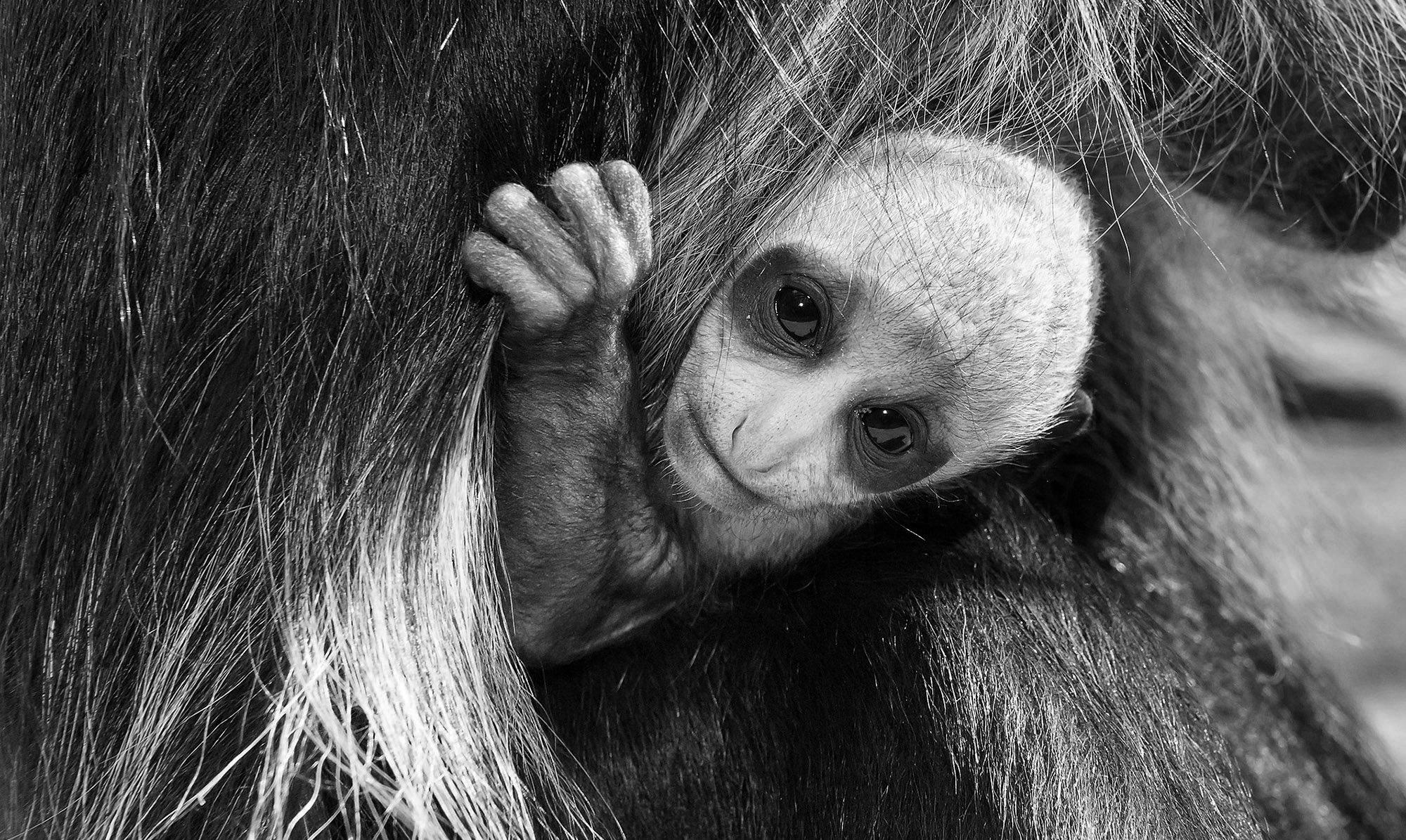 Cute Rare Baby Monkey Born In Worlds Oldest Zoo - Ananova