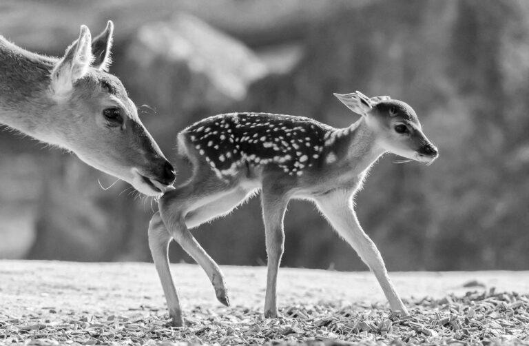 Extinct Bambi Deer Born In Worlds Oldest Zoo
