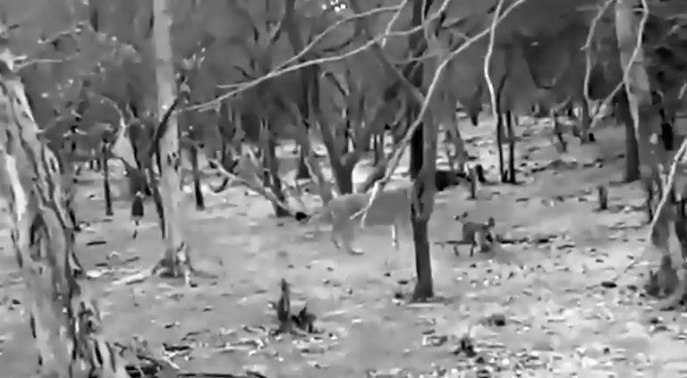 Fearless Dog Fights For Life Against Huge Hungry Lioness