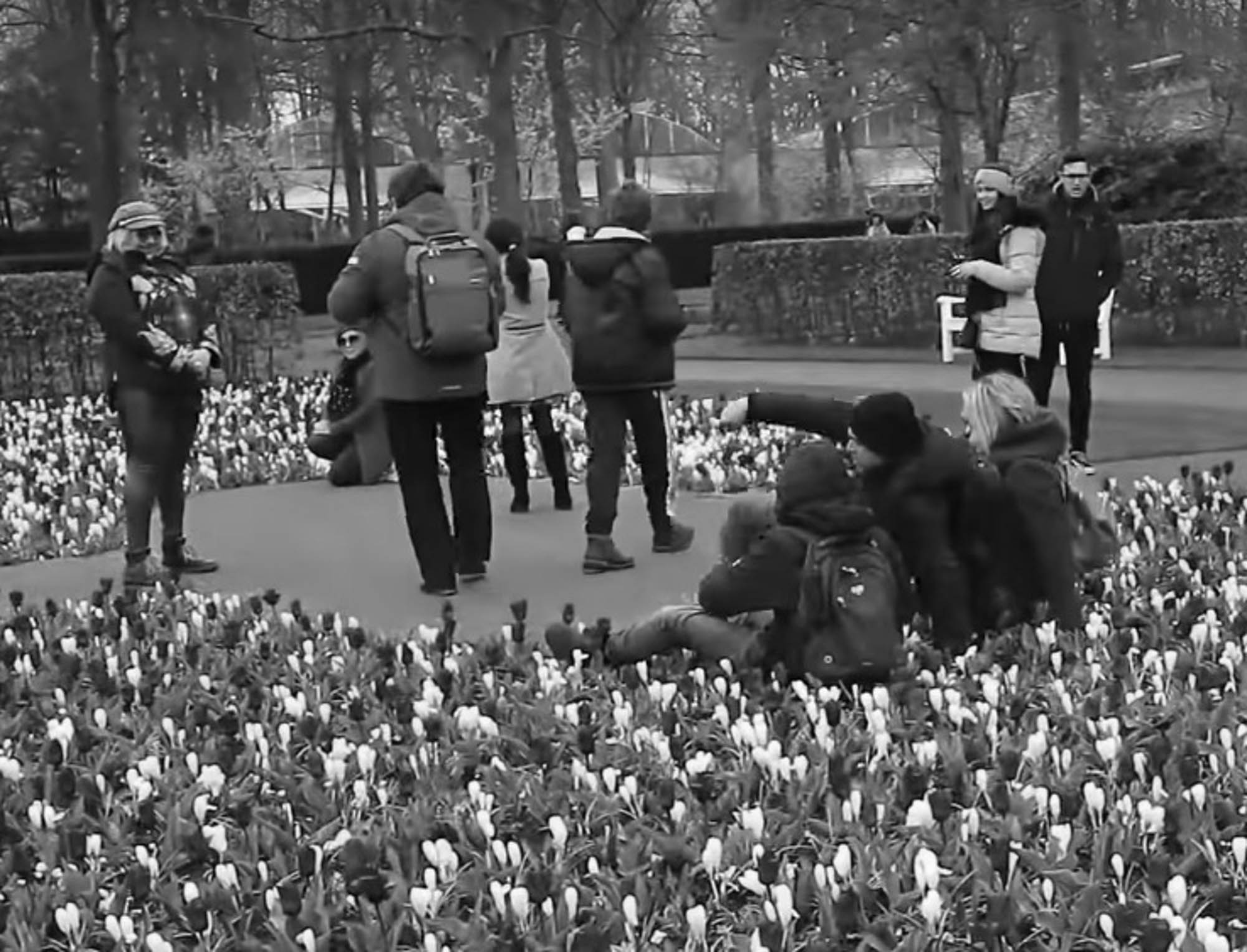 Tulip Garden To Dig Trenches To Stop Trampling Selfies