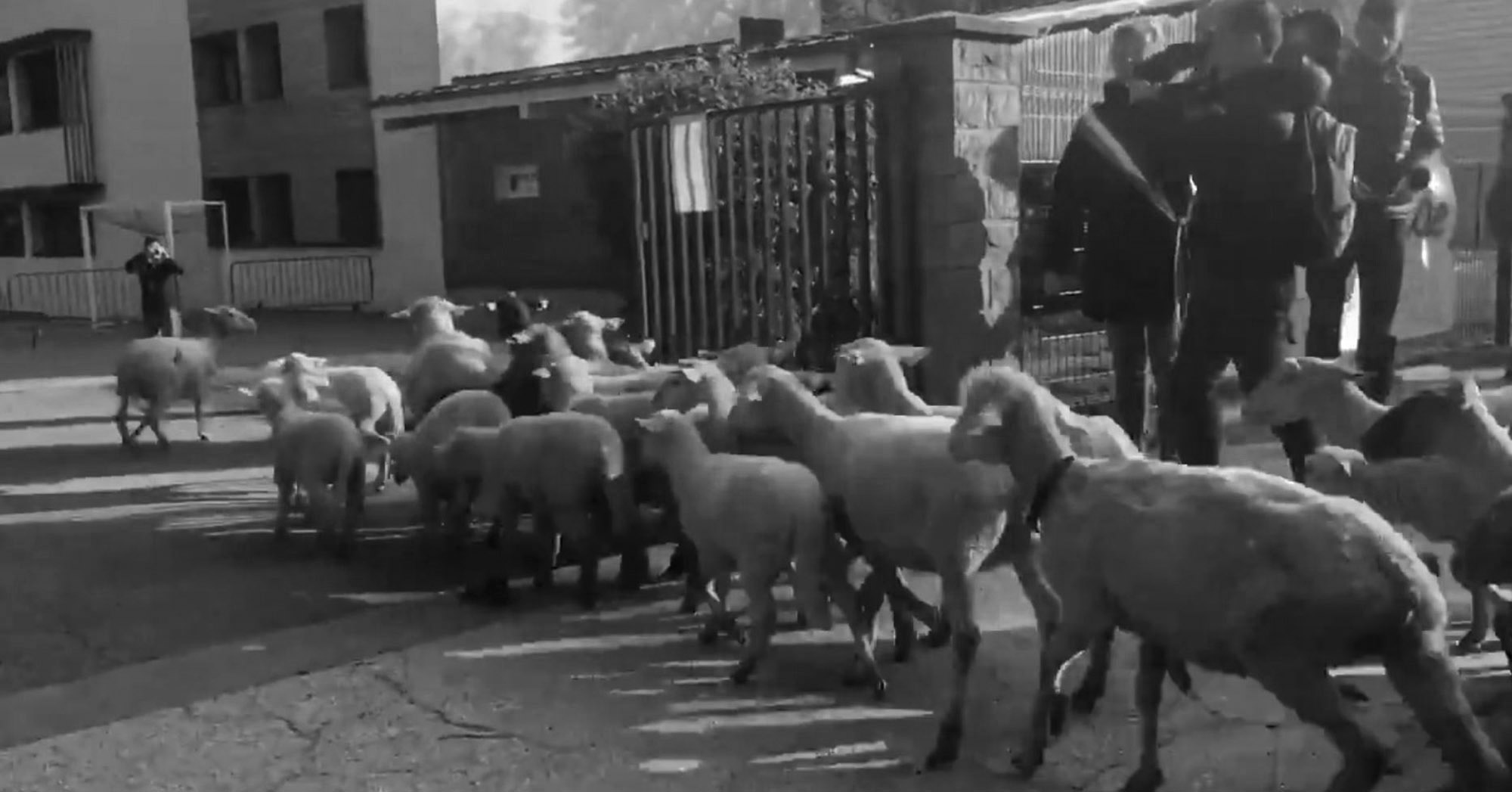 French Mayor Sends 15 Sheep To School Amid Closure Fears
