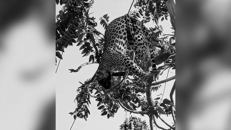 Leopard Zapped By Power Cable Has Face Burnt Off