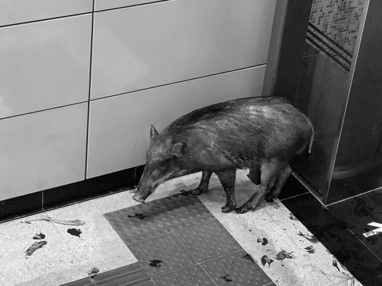 Bleeding Wild Boar Runs Through Busy Tube Station