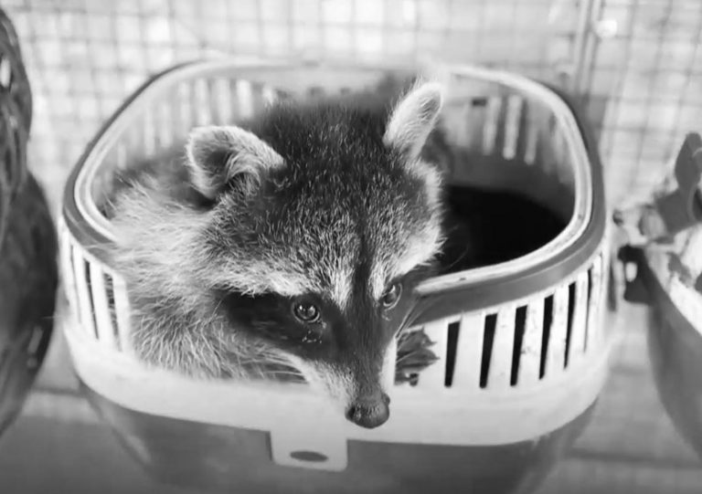 Shelter Saves Cute Raccoons Facing Death Under EU Law