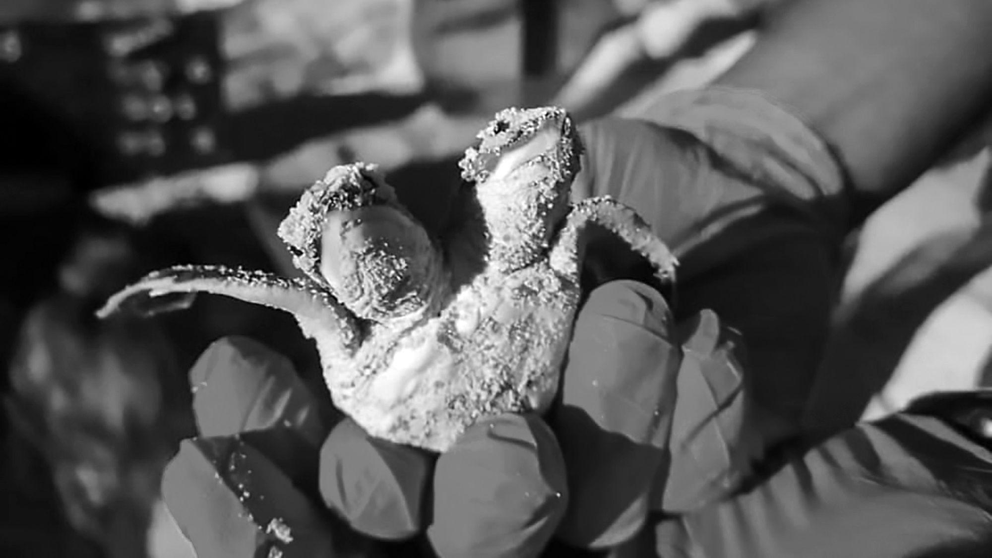 Mutant Two-Headed Turtle Born On Paradise Island