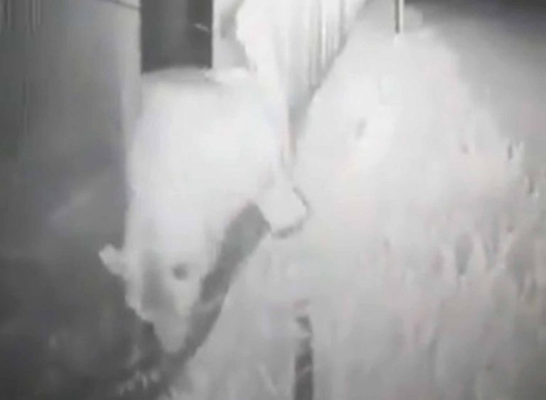 Hungry Bear Smashes Through Fence At Russian Army Base