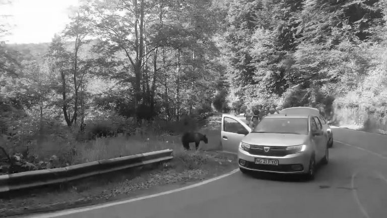 Tourists Stop To Feed Bears On Clarksons Favourite Road