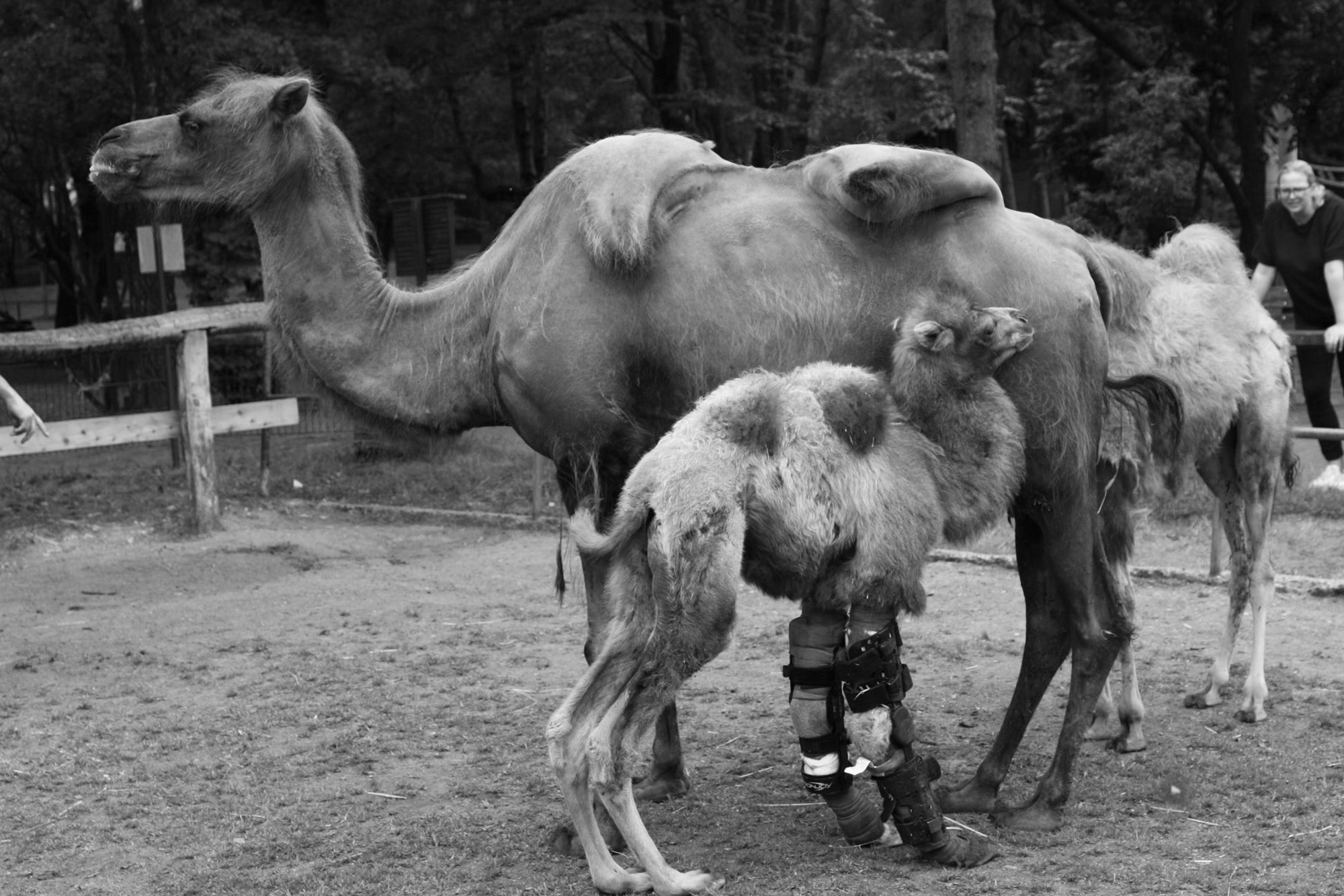 Baby Camel With Leg Brace Like Gump Named Forrest Hump