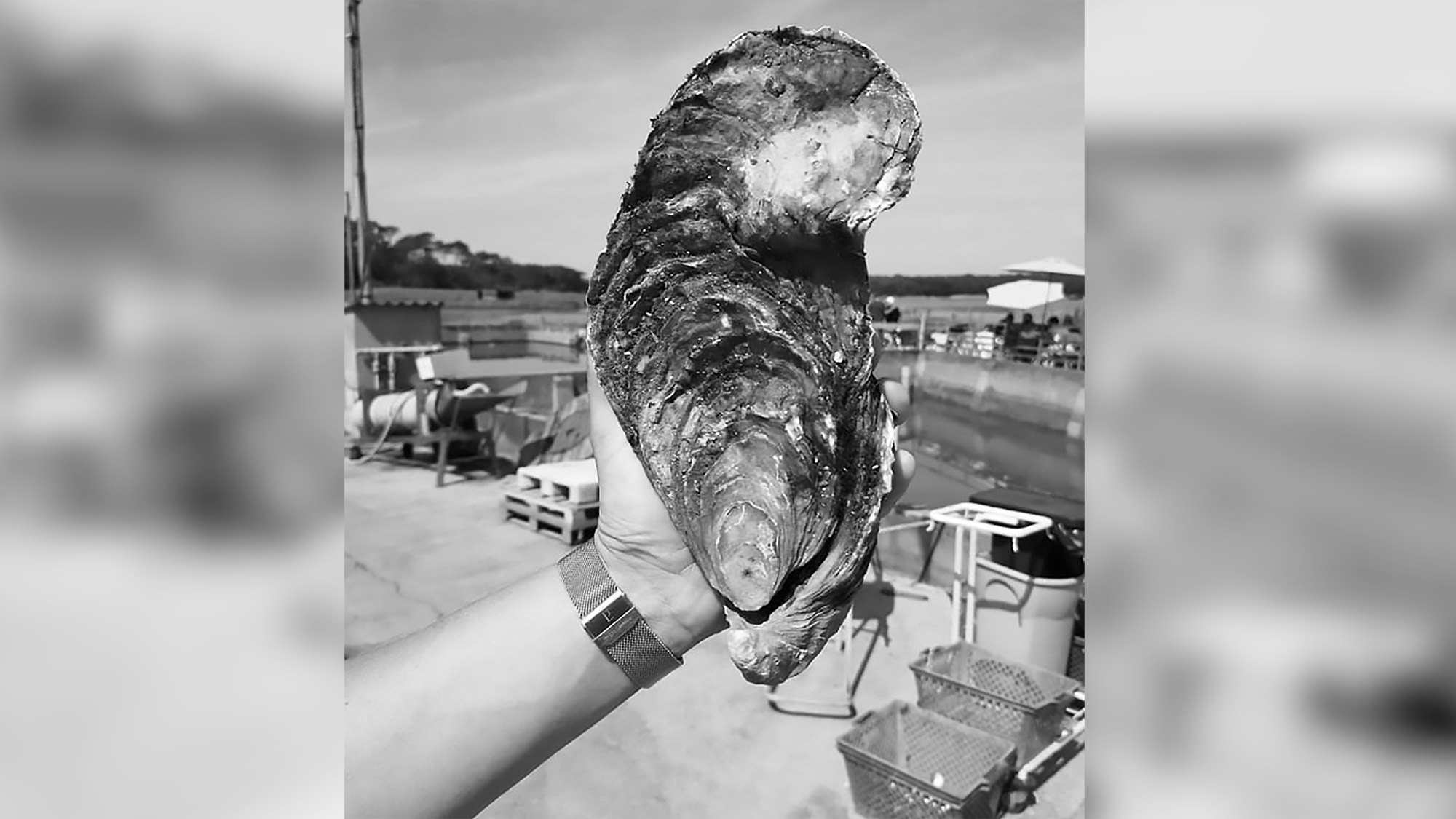 Rare Monster 3-Lb Oyster Discovered By French Farmer