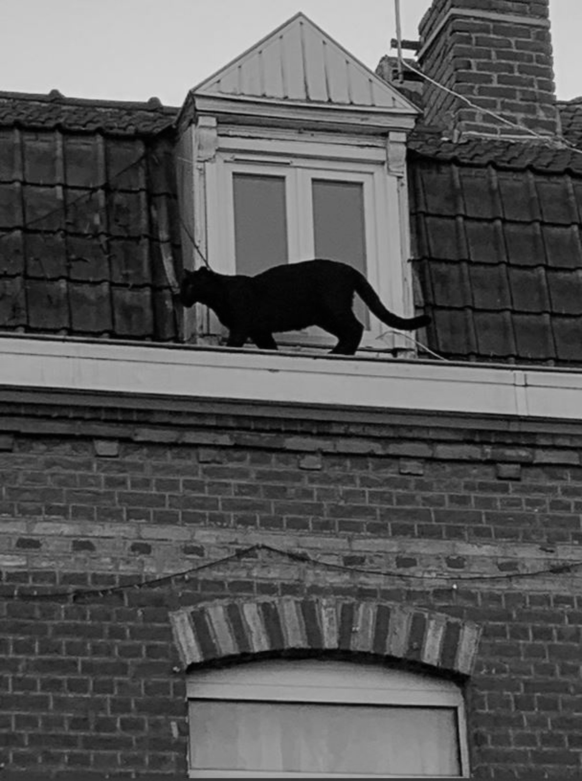 Panther On French Towns Rooftops As Cats Flee For Lives
