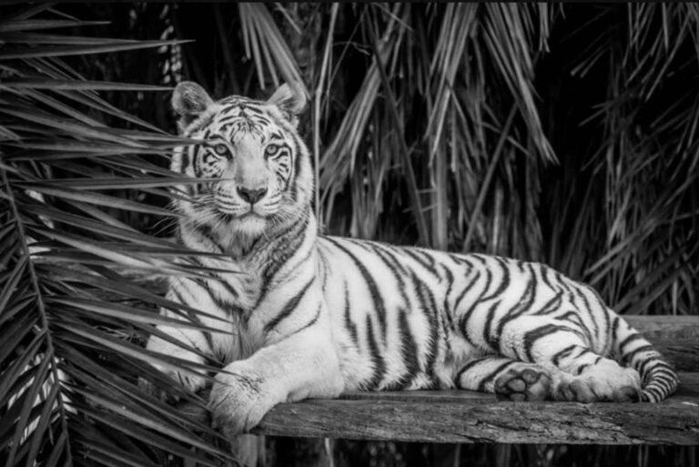 Endangered White Tigress Dies 1 Week After Her Twin