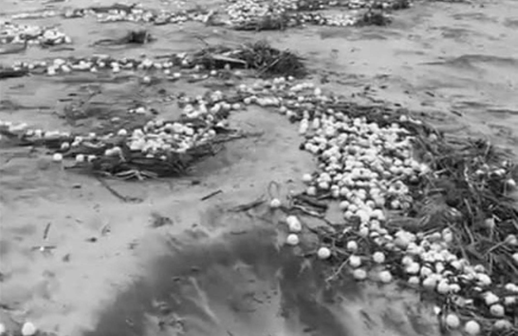 Millions Of Turtle Eggs Destroyed By Tropical Storm