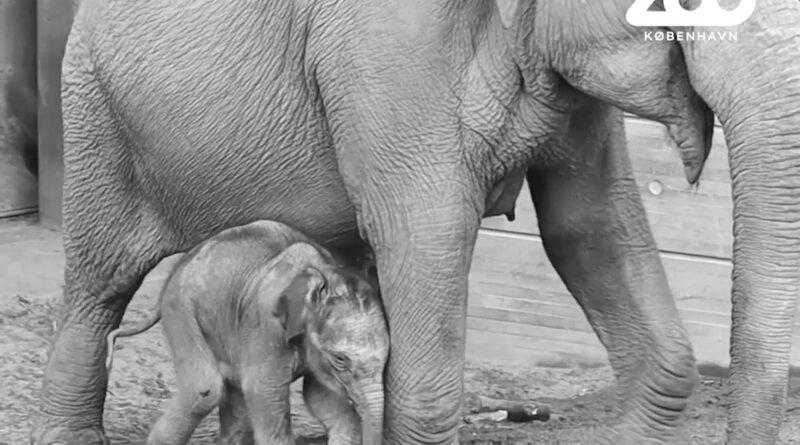Credit: Copenhagen Zoo/Newsflash