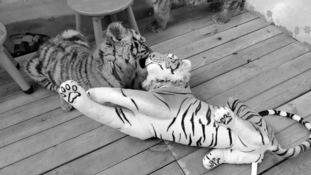 Credit: Jiangsu Yancheng Safari Park/AsiaWire